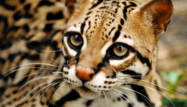 Ocelote Post Featured Image